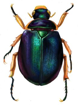 Capturing Egyptian imaginations- the scarab beetle.